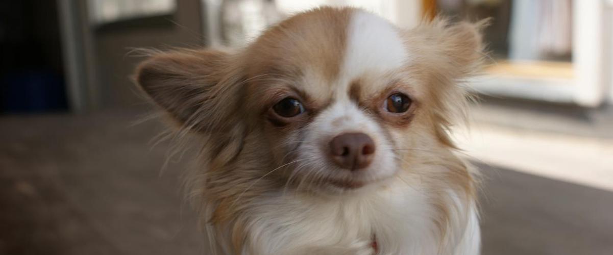 Suomen suosituimmat koirarodut – top 20