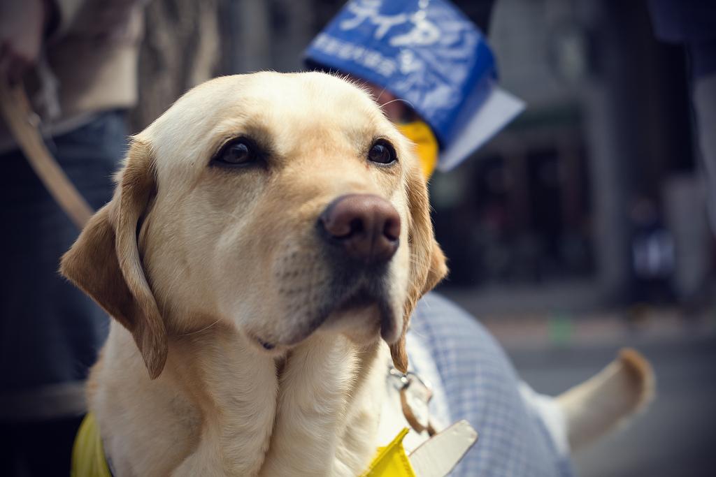 Opaskoirakoulussa kasvatetaan koiria näkövammaisten avuksi