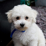 Bichon frisé on allergiaystävällinen koira