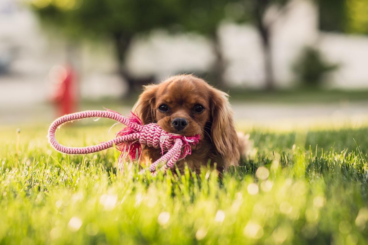 Koiran hankinta vaatii aikaa ja rahaa